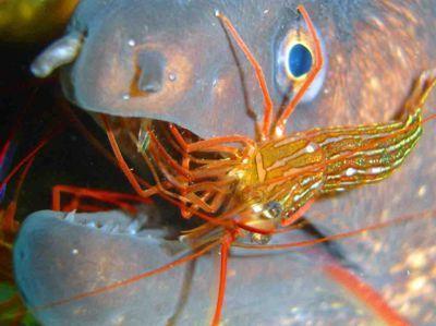 Cleaner shrimp eat aiptasia lysmata seticaudata for Aiptasia eating fish