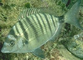 Sargo picudo diplodus puntazzo animacuatic for Acuariofilia peces ornamentales